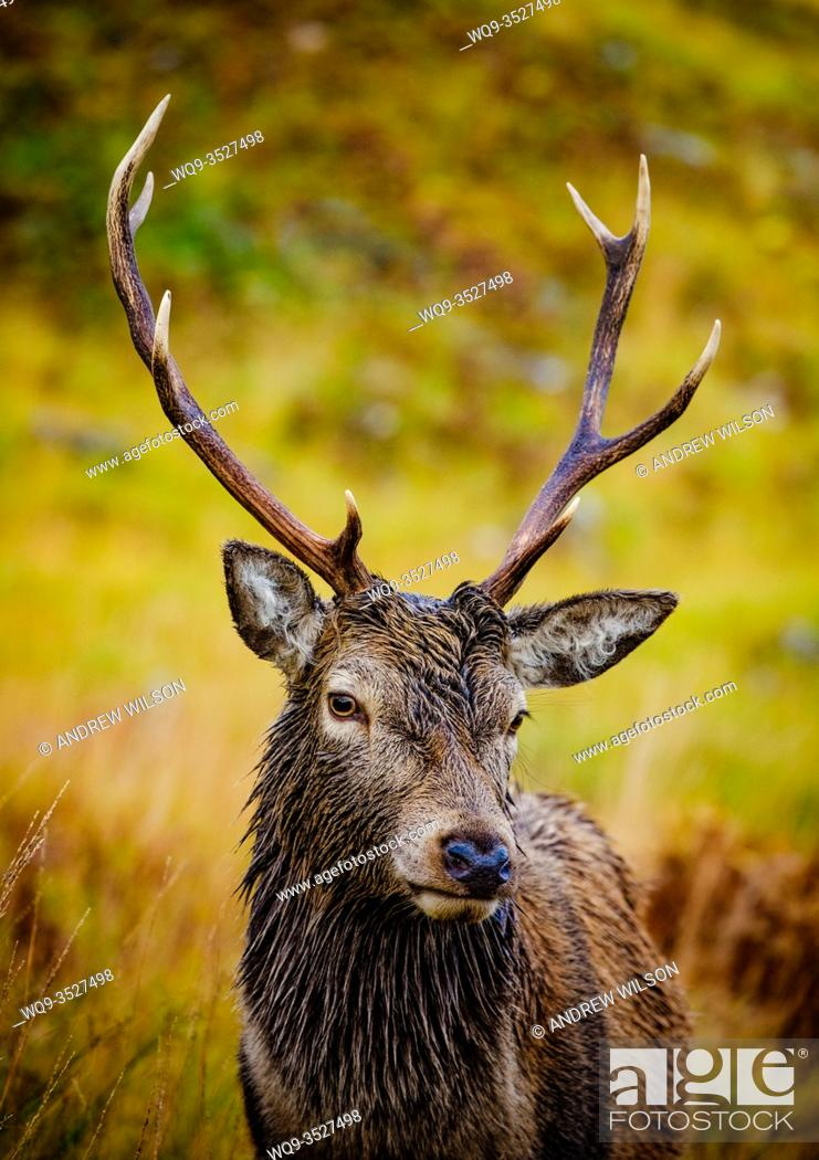 Stock Photo: Red Deer stag in Glen Etive, Highlands of Scotland.