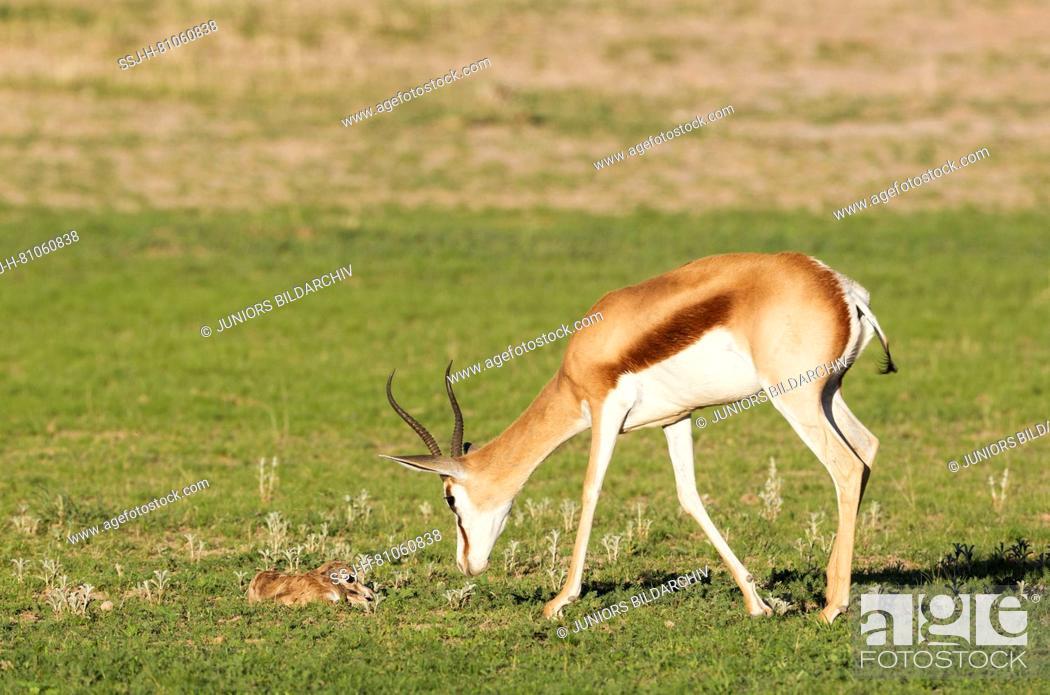 Stock Photo: Springbok (Antidorcas marsupialis), ewe stimulates newborn lamb to get up. During the rainy season in green surroundings.