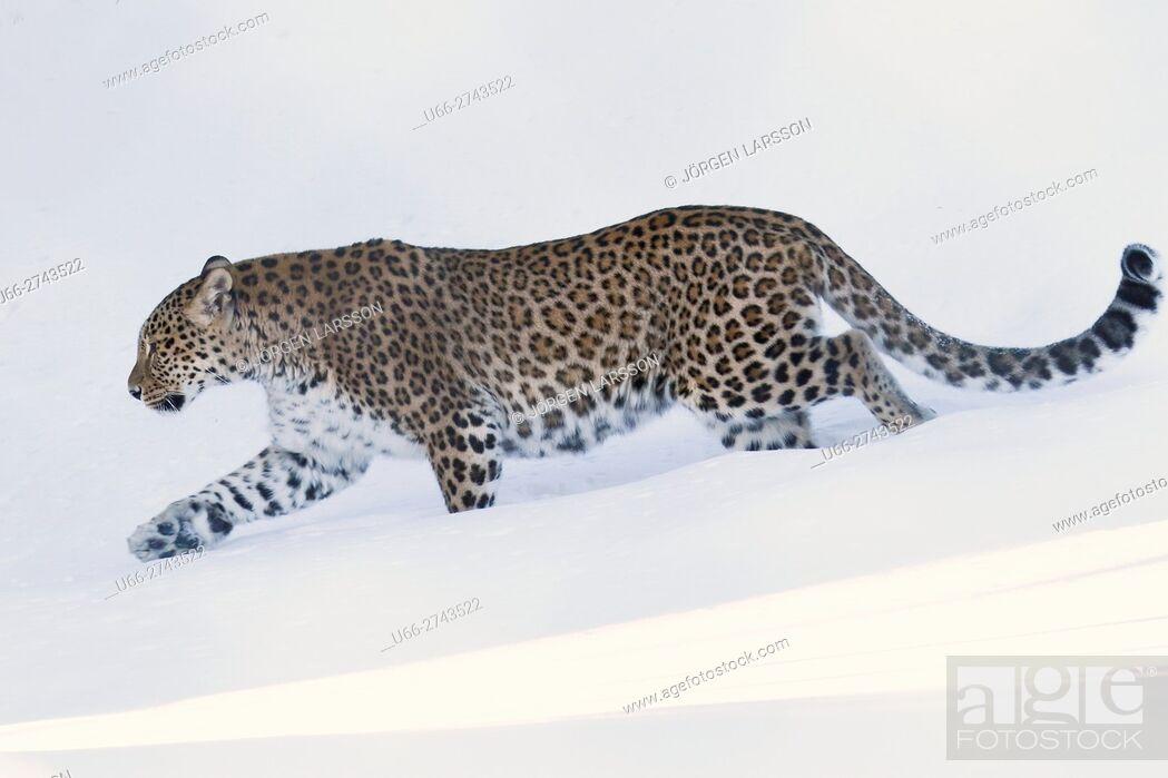 Stock Photo: Leopard, Panthera pardus, Sweden.