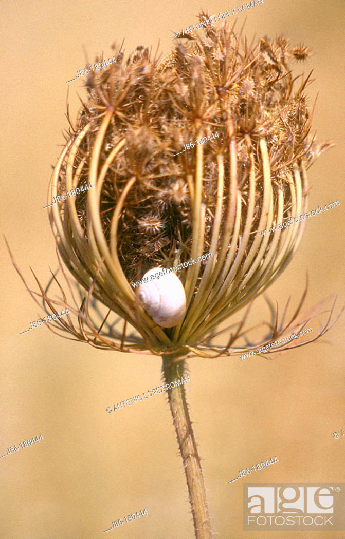 Stock Photo: Snail in Queen Anne's Lace plant (Daucus carota).