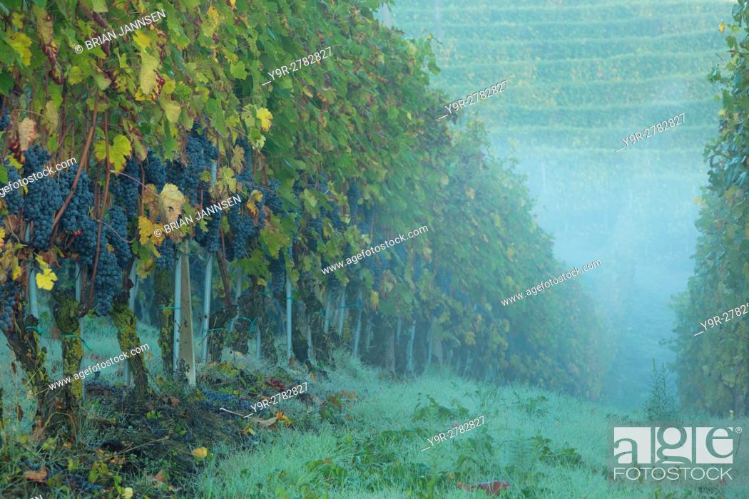 Stock Photo: Early morning in the Nebbiola grapevines of Barolo, Piemonte, Italy.