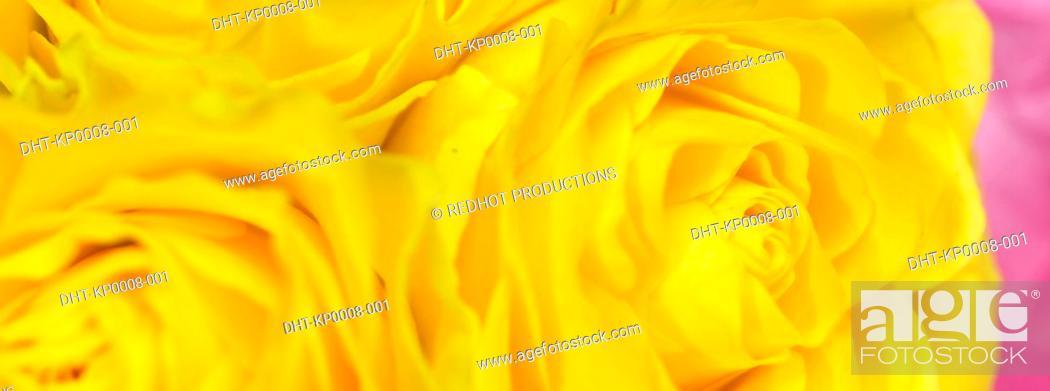 Stock Photo: Still life of Yellow Roses.