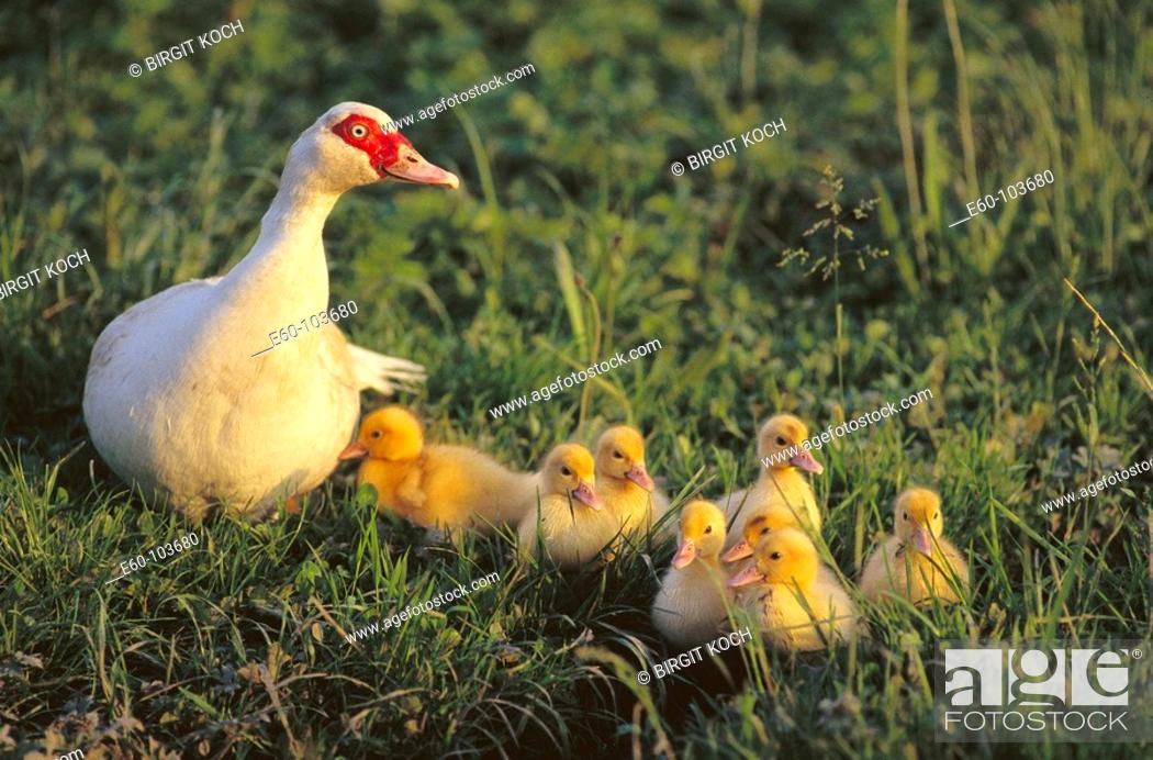 Stock Photo: Duck with ducklings.