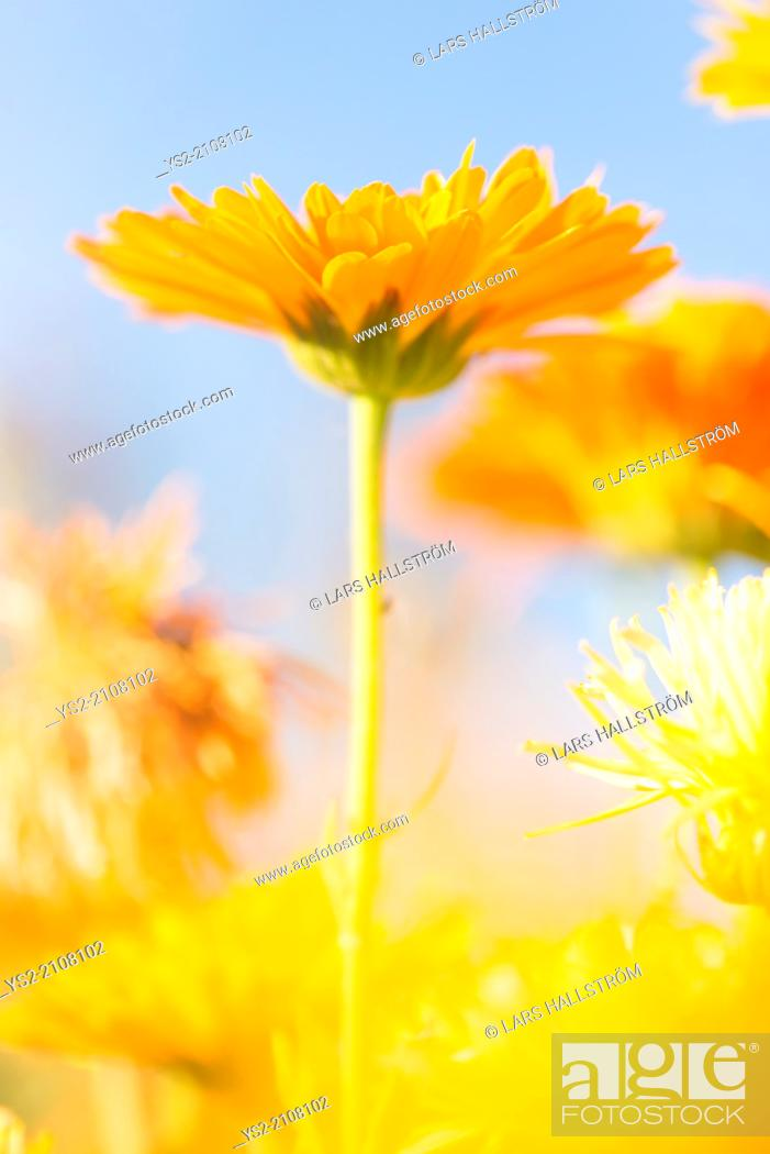 Imagen: Low angle close up of orange to yellow marigold flowers growing in garden.