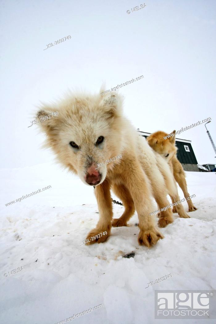 Stock Photo: Sled dogs in Kulusuk. Greenland.