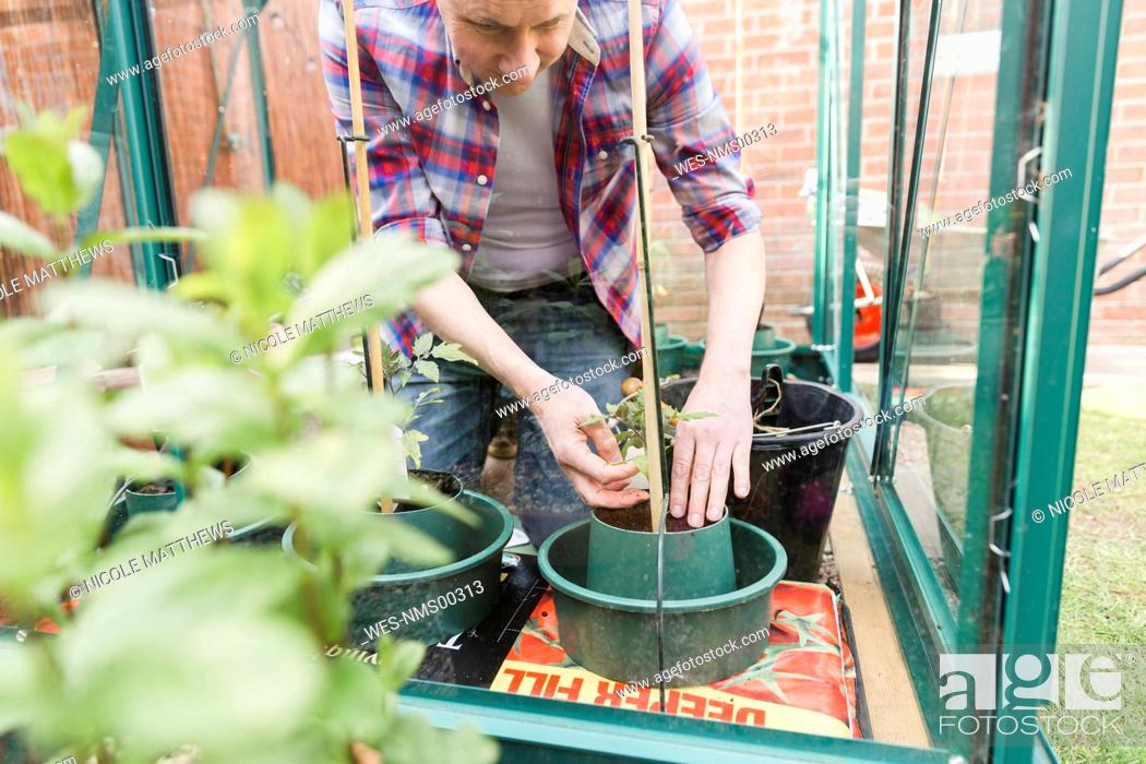 Stock Photo: Man planting seedling in greenhouse.