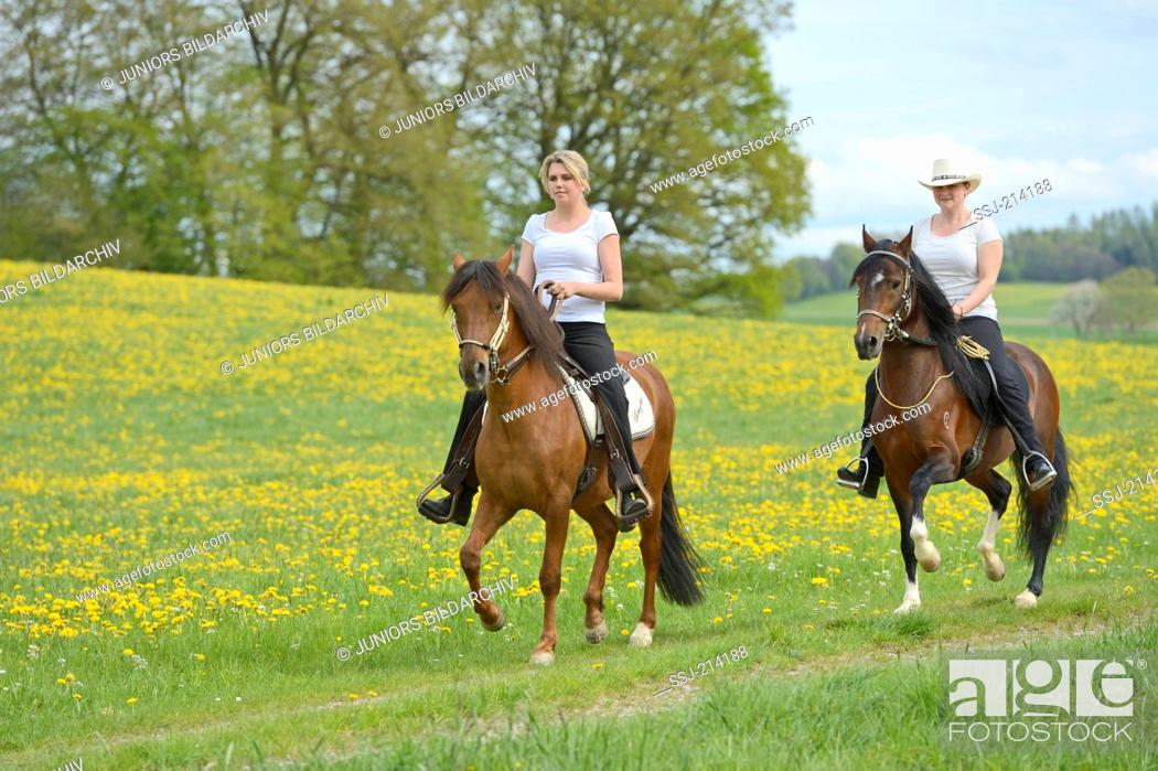 Stock Photo: Two horsewoman riding on Paso Fino Horses over a flowering meadow, Bavaria, Germany.