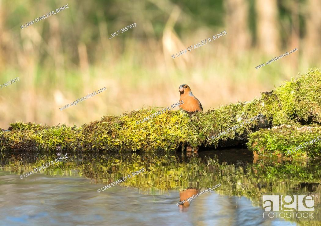Stock Photo: Male Chaffinch (Fringilla coelebs) perched on moss at reflection pool, Shropshire UK. March 2020.