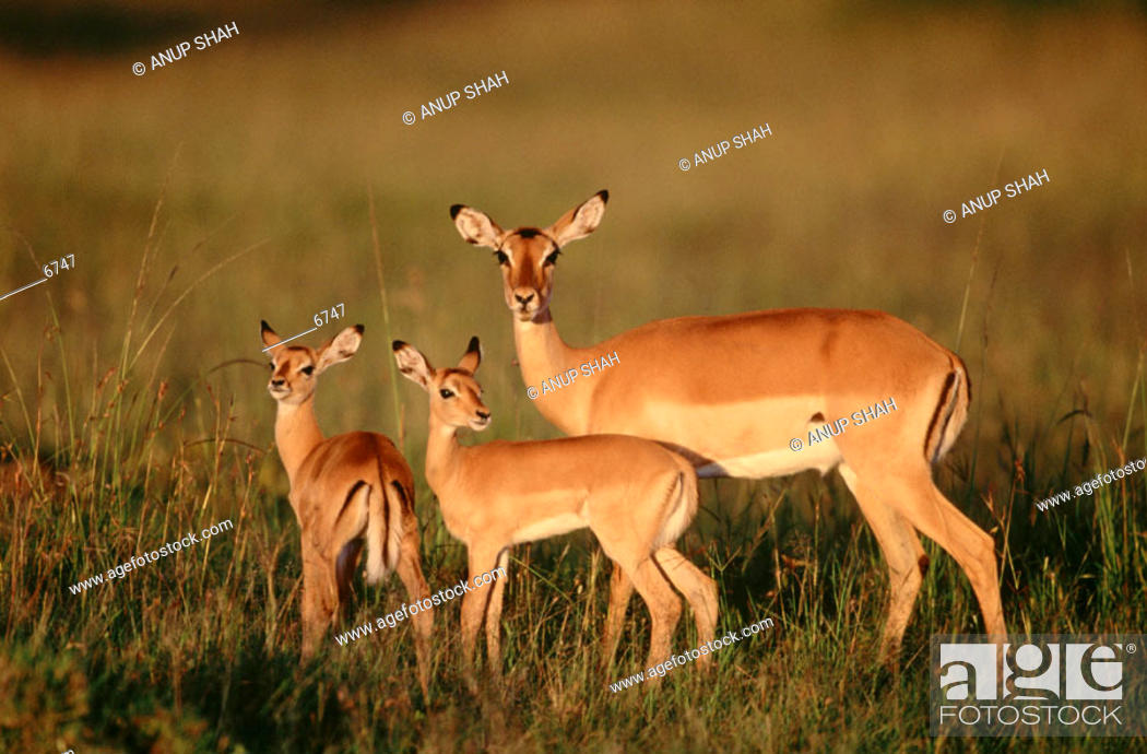 Imagen: Impalas.