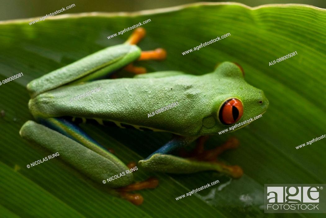 Stock Photo: Red eyes tree frog - Tortuguero.