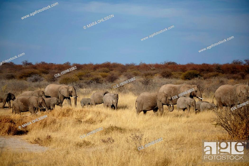 Stock Photo: Herd of adult and juvenile elephants walking in arid plain, Namibia, Africa.