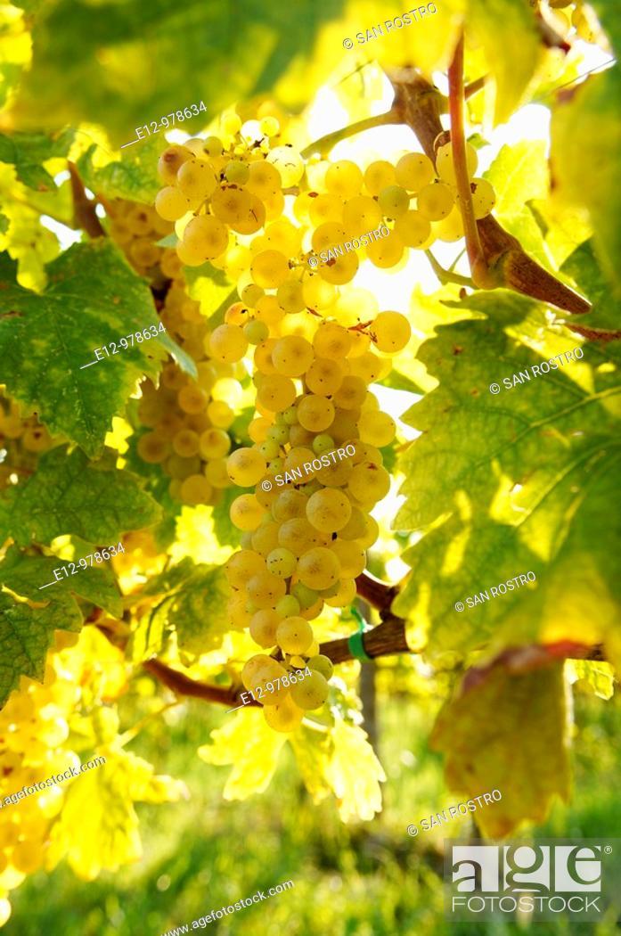 Stock Photo: Italy, Venice, Orto : First Wine made In Venice, Sant Erasmo Island  Harvest in malvasia vineyards.
