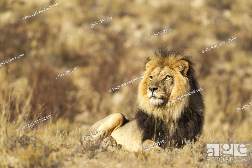 Stock Photo: Lion (Panthera leo). Black-maned Kalahari male. Resting. Kalahari Desert, Kgalagadi Transfrontier Park, South Africa.