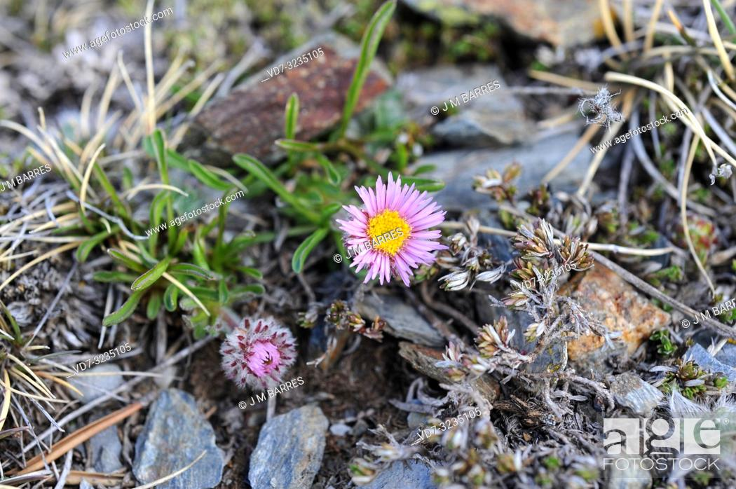 Stock Photo: Aragon fleabane (Erigeron aragonensis or Erigeron uniflorus aragonensis) is a perennial herb endemic to Pyrenees. This photo was taken in Huesca Pyrenees.