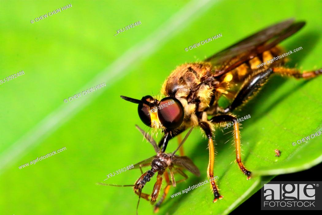 Stock Photo: Close up of Robber Fly, borneo.