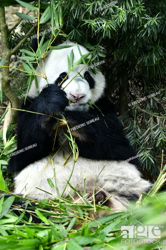 Stock Photo: Panda in a zoo in Singapore.