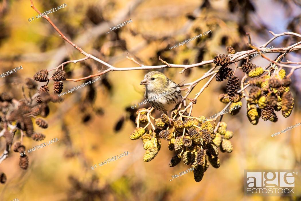 Stock Photo: Eurasian siskin (Spinus spinus). Male eating seeds. Parque de Polvoranca, Leganes, Madrid province, Spain.
