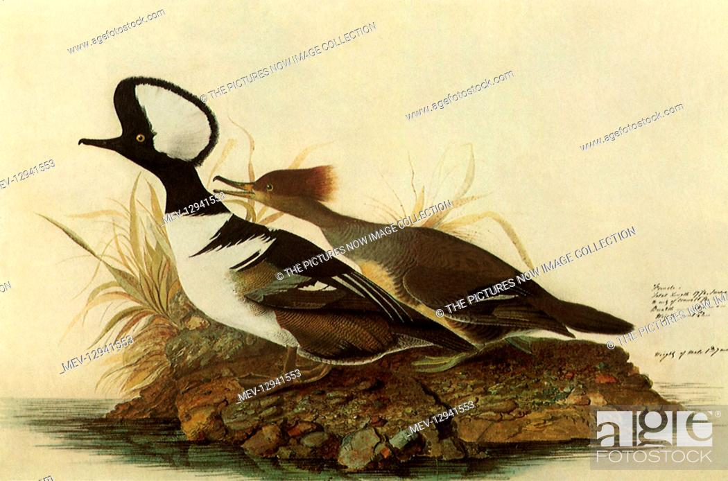 Stock Photo: Two Hooded Mergansers.