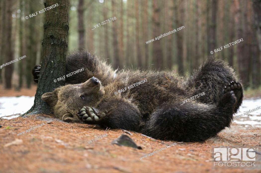 Imagen: European Brown Bear ( Ursus arctos ), playful cub, lying, rolling on its back, scratching, itching on the ground, looks cute and funny, Europe.