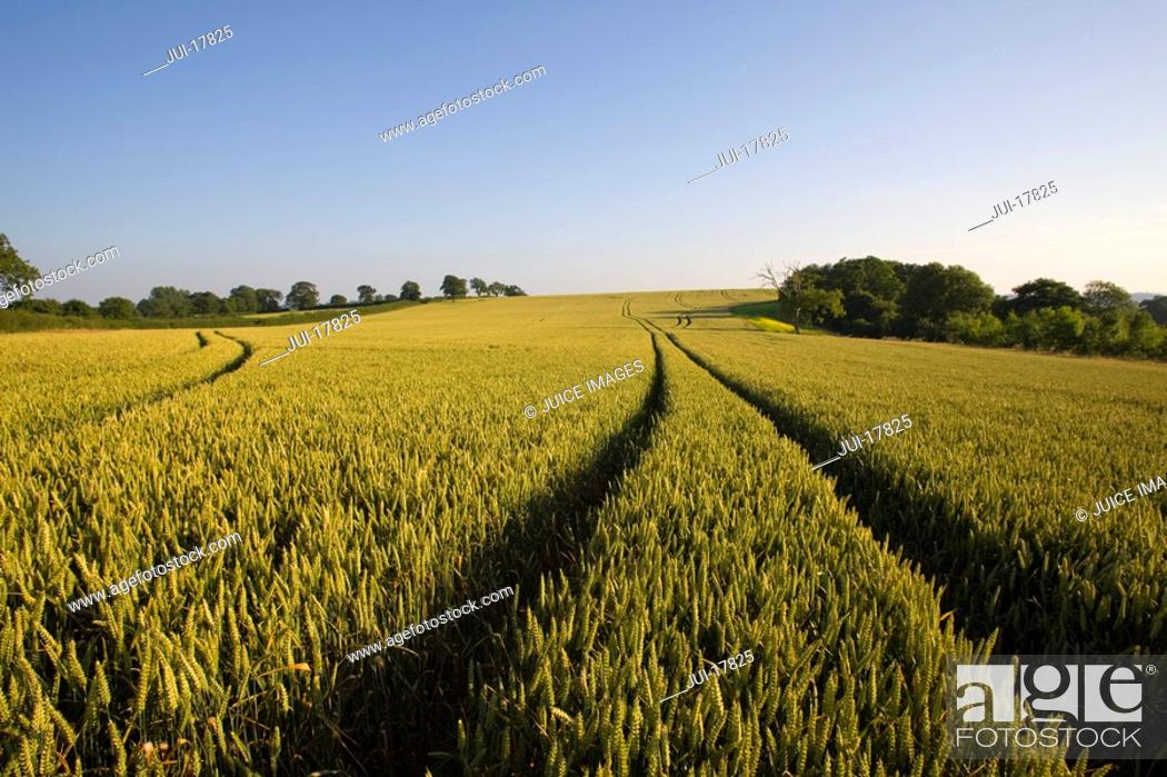 Stock Photo: Tracks in wheat field.