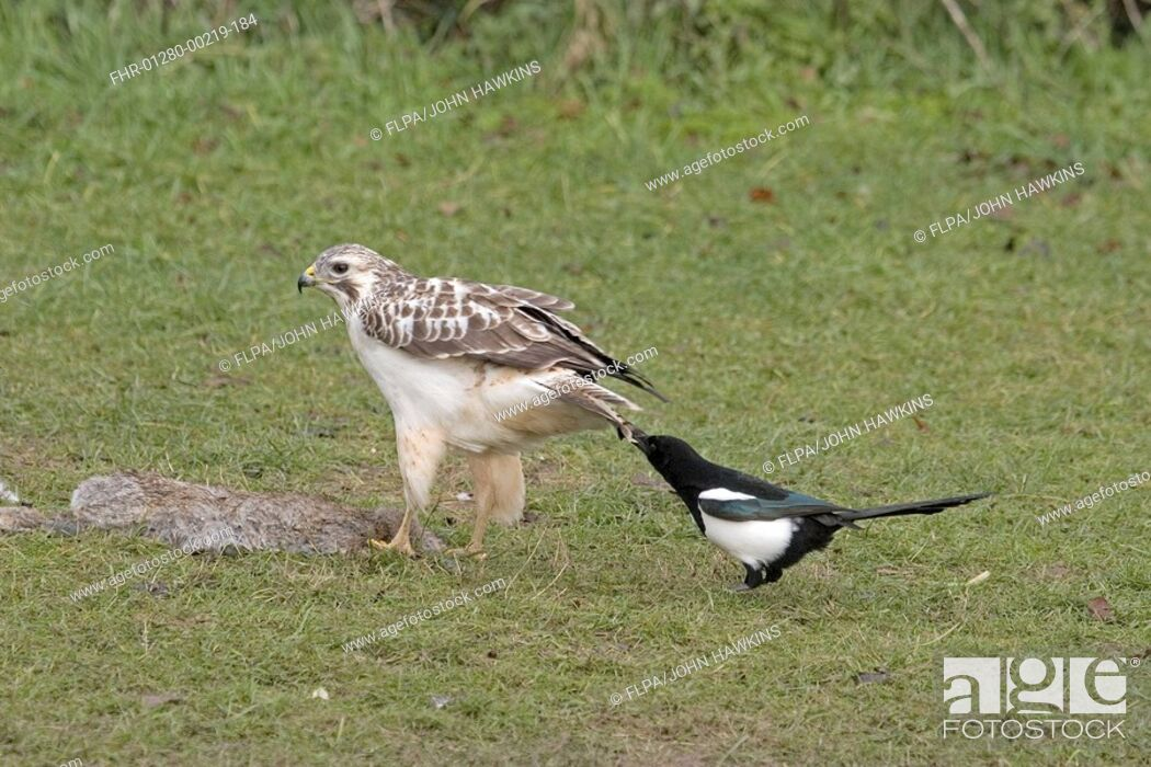 Stock Photo: Common Buzzard Buteo buteo adult, feeding on rabbit carcass, Common Magpie Pica pica pulling tail, Britain, december.