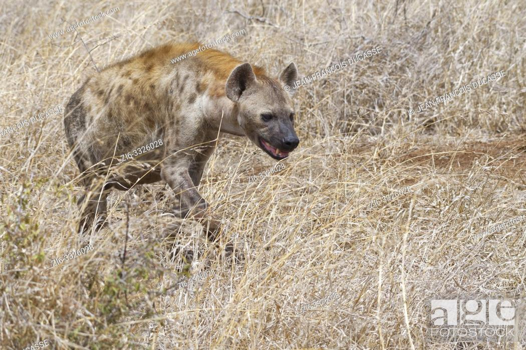 Stock Photo: Spotted hyena (Crocuta crocuta), adult, walking in the dry grass, Kruger National Park, South Africa, Africa.