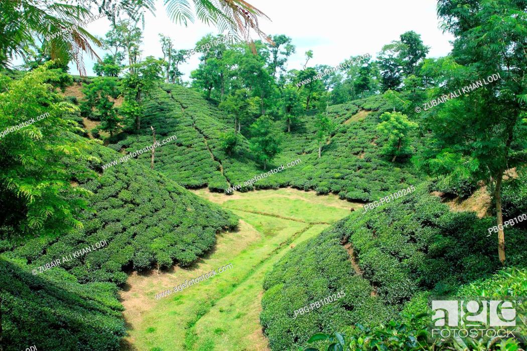 tea garden  srimangal bangladesh tea   major