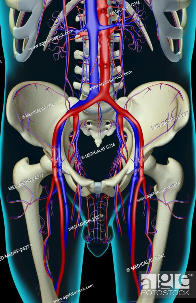 Stock Photo: The blood supply of the pelvis.