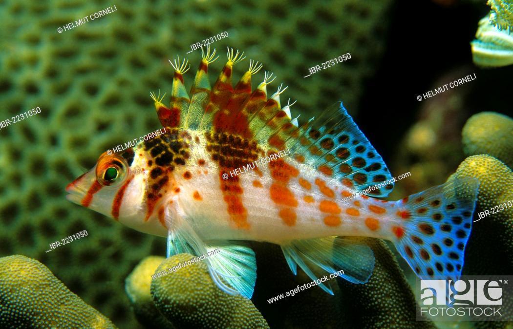 Stock Photo: Dwarf hawkfish (Cirrhitichthys falco), swimming near the branches of stony corals, Sabang, Puerto Galera, Oriental Mindoro province, Philippines, Asia.