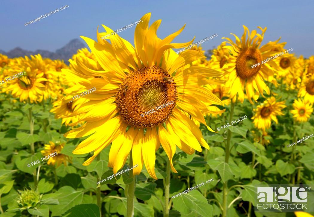 Stock Photo: sunflower field , sunflower fields of lopburi , central Thailand.