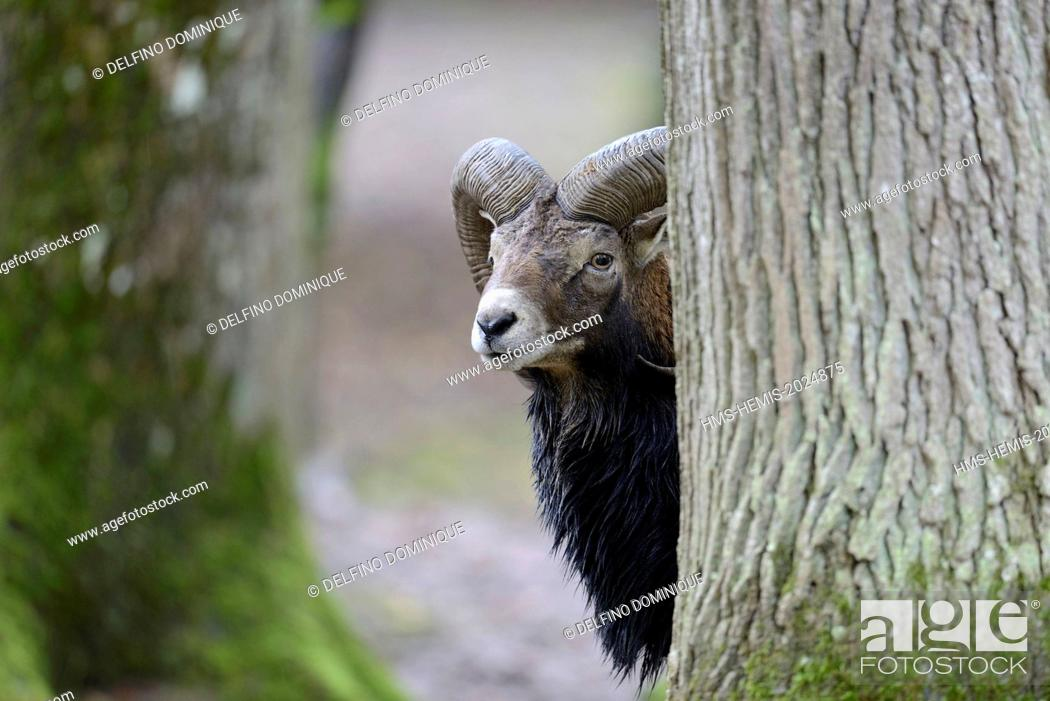 Stock Photo: France, Moselle, Animal Park Saint Croix, Rhodes, Corsican mouflon (Ovis gmelini musimon), male.