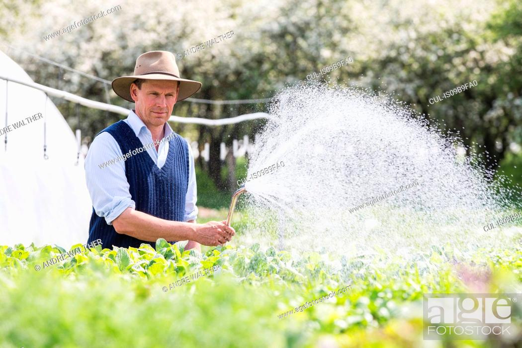 Stock Photo: Farmer watering plants with hosepipe.
