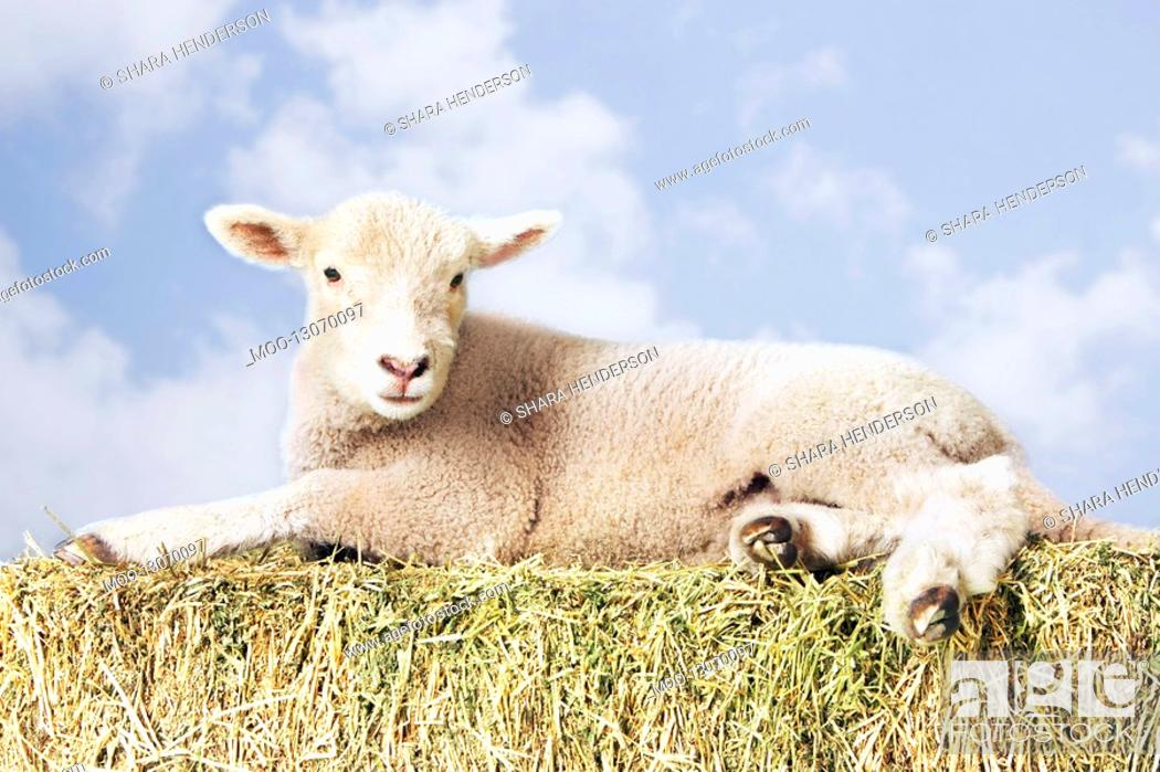 Stock Photo: Lamb lying on hay against sky background digital composite.
