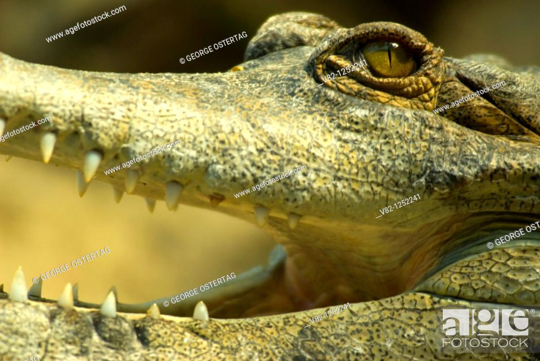 Stock Photo: African slender-snouted crocodile, captive animal.