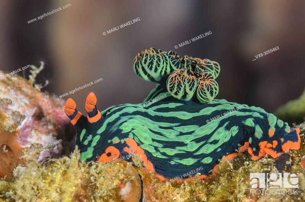 Stock Photo: sea slug or nudibranch, Nembrotha kubarayana, Anilao, Batangas, Philippines, Pacific.