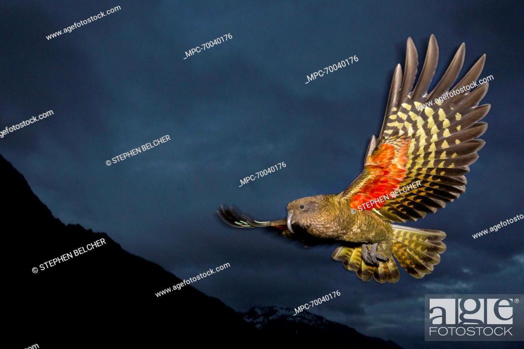 Kea (Nestor notabilis) flying, Arthur's Pass National Park, South