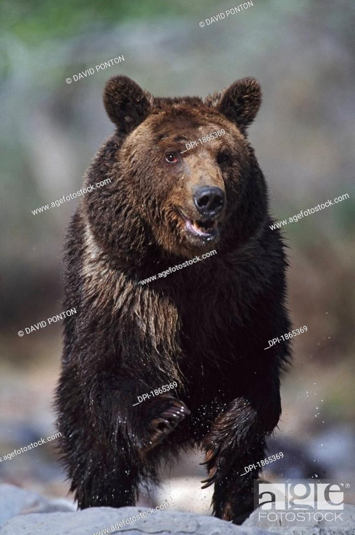 Stock Photo: Grizzly bear Ursus arctos.