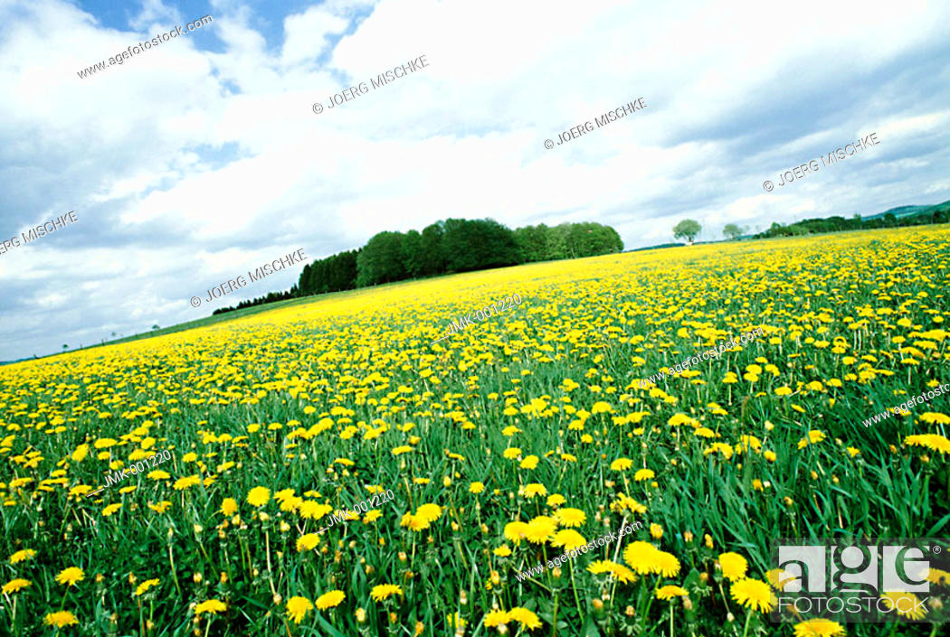 Stock Photo: Meadow with blooming dandelion, a small forest in the background.