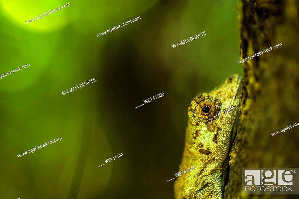 """Stock Photo: """"""""""""""""""""Anolis"""""""" (Anolis), There are species of Lizards that consume only plants and those that consume only meat. It all depends on the type of species."""