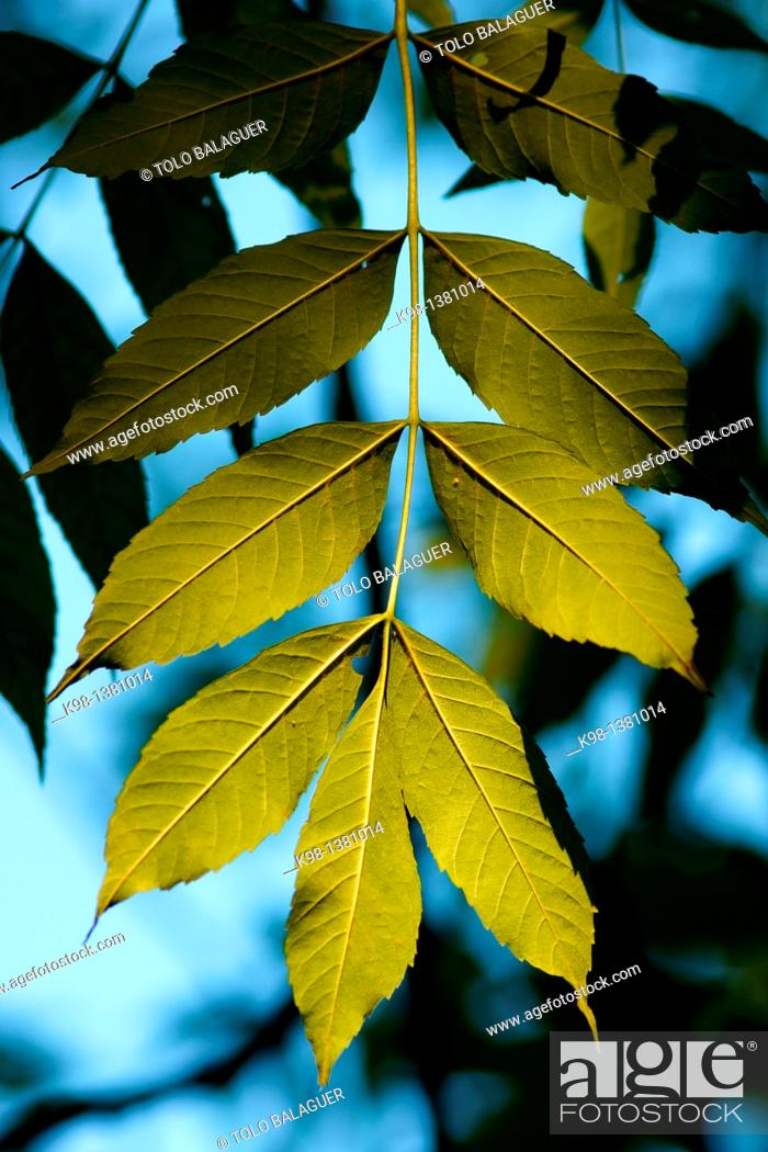 Stock Photo: Ash leaves, Fraxinus excelsior, Forest Irati, Pyrenees, Navarra, Spain.