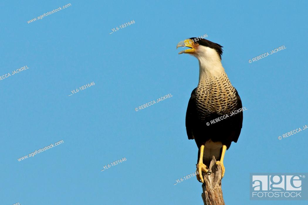 Stock Photo: A crested caracara calls from his perch on a tree.