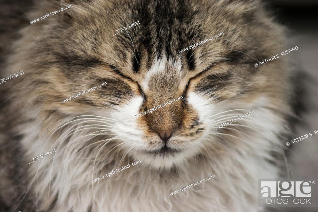 Stock Photo: Portrait of a sleepy cat. Sidi Bou Said, the blue and white tourist village overlooking the Mediterranean Sea. Tunisia, Africa.