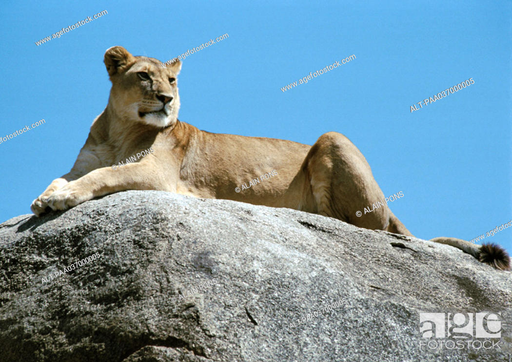 Stock Photo: Africa, Tanzania, lioness lying on rock.