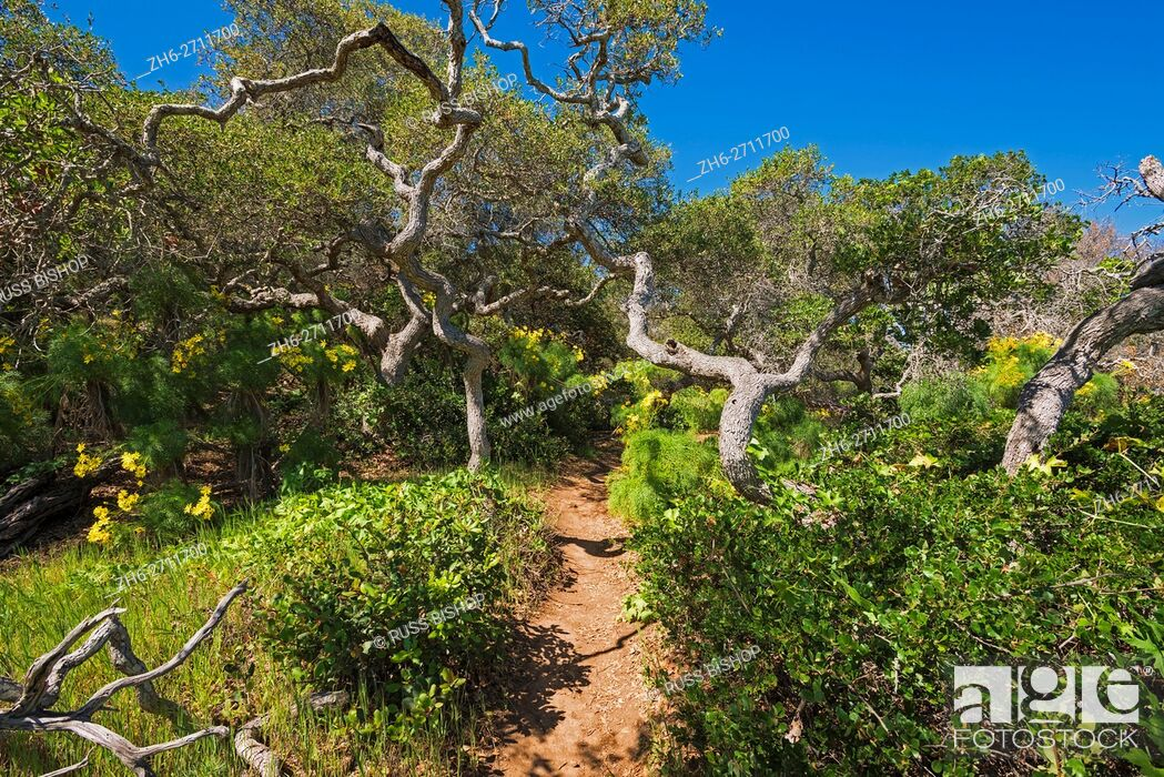 Imagen: Forest on the Pelican Bay trail, Santa Cruz Island, Channel Islands National Park, California USA.