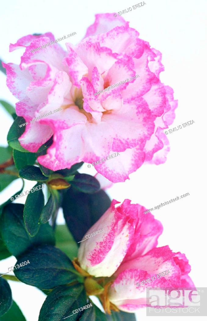 Stock Photo: Rhododendron hybr.