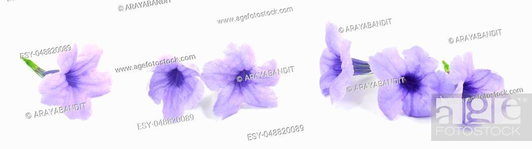 Stock Photo: Fresh Purple Ruellia Tuberosa, Minnieroot, Fever Root, Snapdragon Root or Sheep Potato Flowers Isolated on White Background.