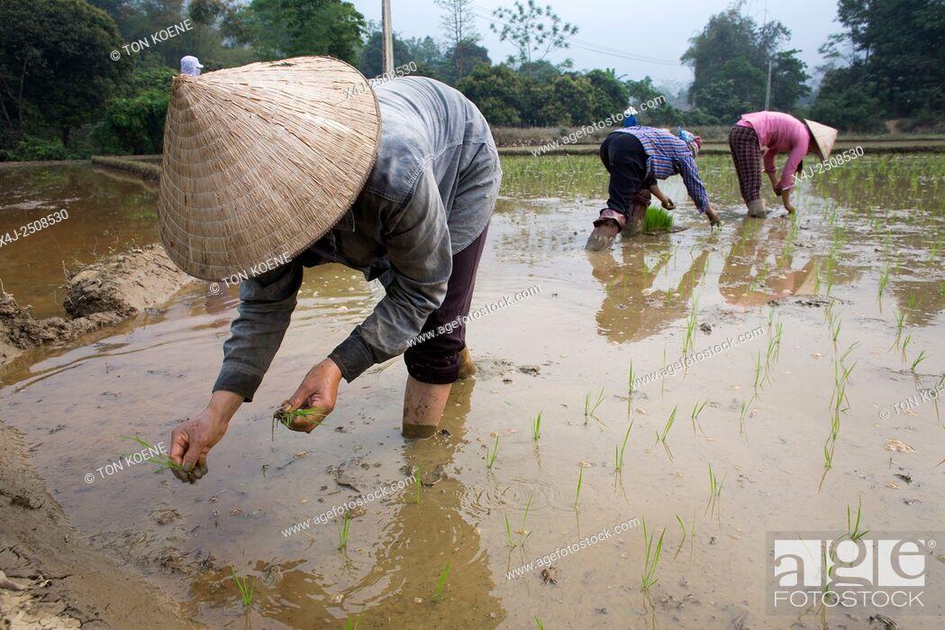 Photo de stock: Rice cultivation in Sapa, Northern Vietnam.