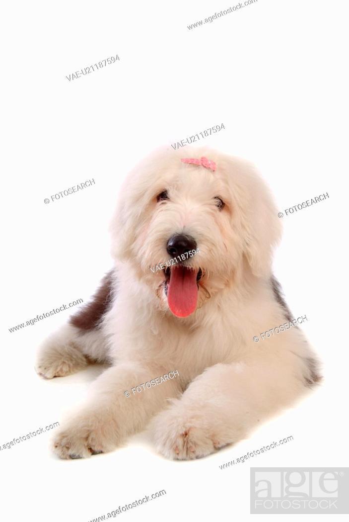 Stock Photo: pose, sheepdog, house pet, canines, domestic, posed, old english sheepdog.