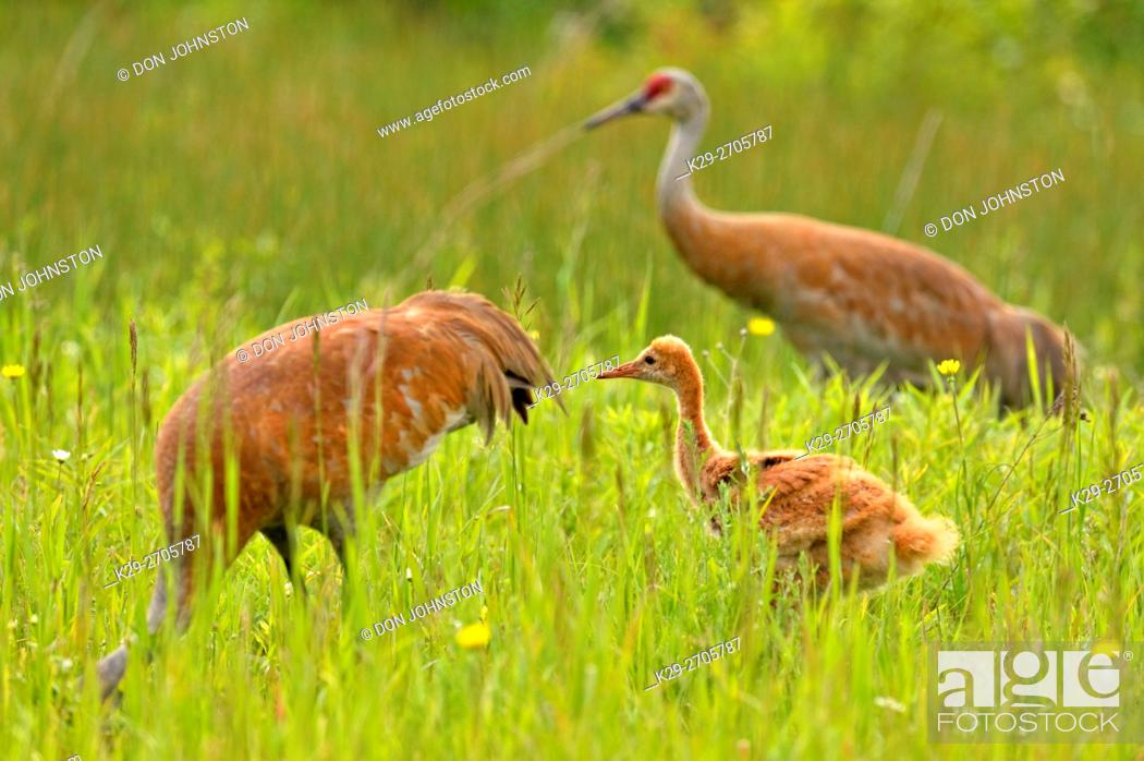 Stock Photo: Sandhill crane (Grus Canadensis) Adult and young, Munising, Michigan, USA.