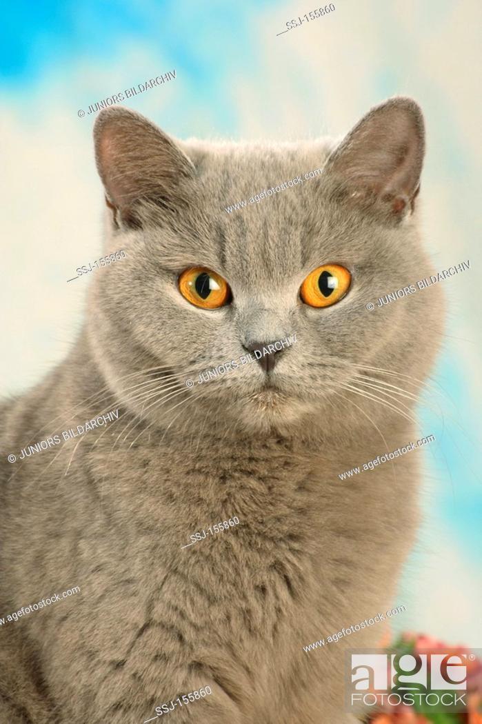 Stock Photo: young British Shorthair cat - portrait.